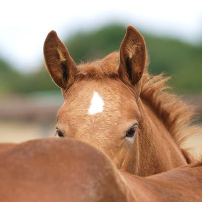 Foal's ears and face